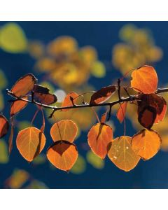Autumn Aspen Leaves in Yosemite Apple TV Skin