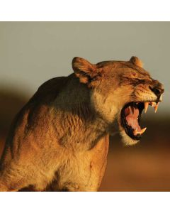 Female African Lion Acer Chromebook Skin