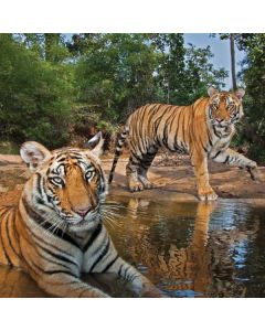Tiger Cubs Playing at a Waterhole Apple TV Skin