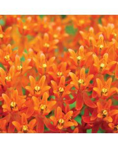 Butterfly Weed of Rich Orange Color Galaxy Book Keyboard Folio 12in Skin