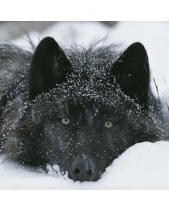 Gray Wolf Resting In Deep Snow Generic Laptop Skin