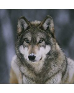 Gray Wolf at International Wolf Center Surface Go Skin
