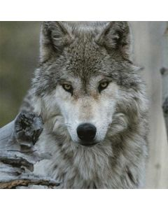 Stoic Gray Wolf LifeProof Nuud iPhone Skin