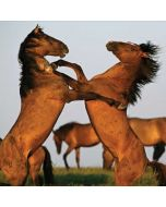 Two Stallions at a Wild Horse Conservation Center Dell XPS Skin