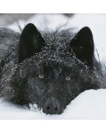 Gray Wolf Resting In Deep Snow Dell XPS Skin